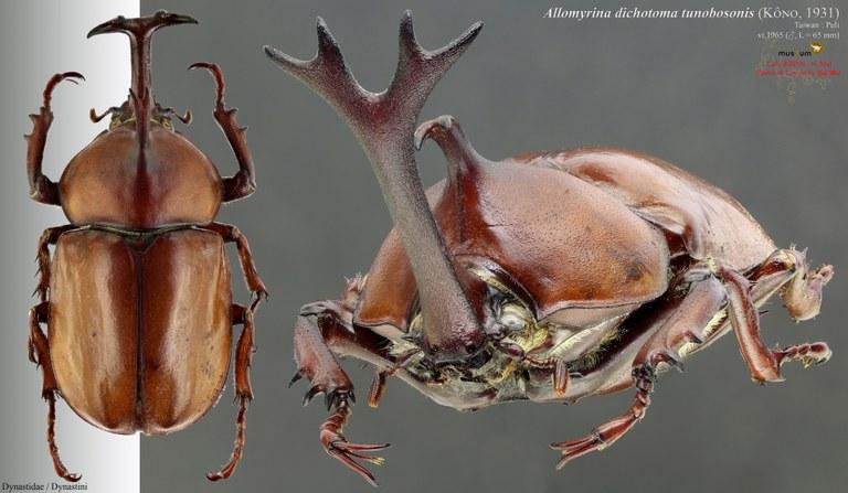 Allomyrina dichotoma tunobosonis.jpg