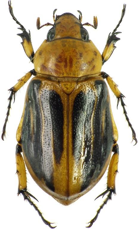 Ancognatha vulgaris 30475cz78 .jpg