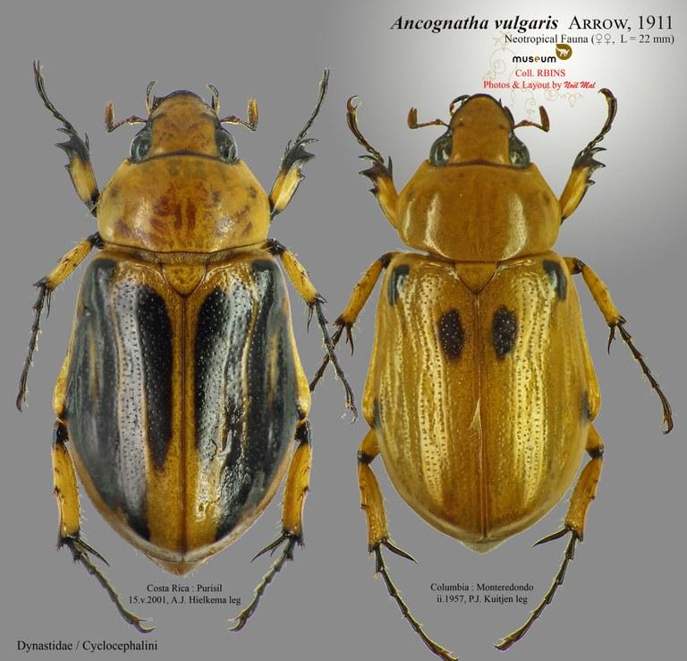 Ancognatha vulgaris .jpg