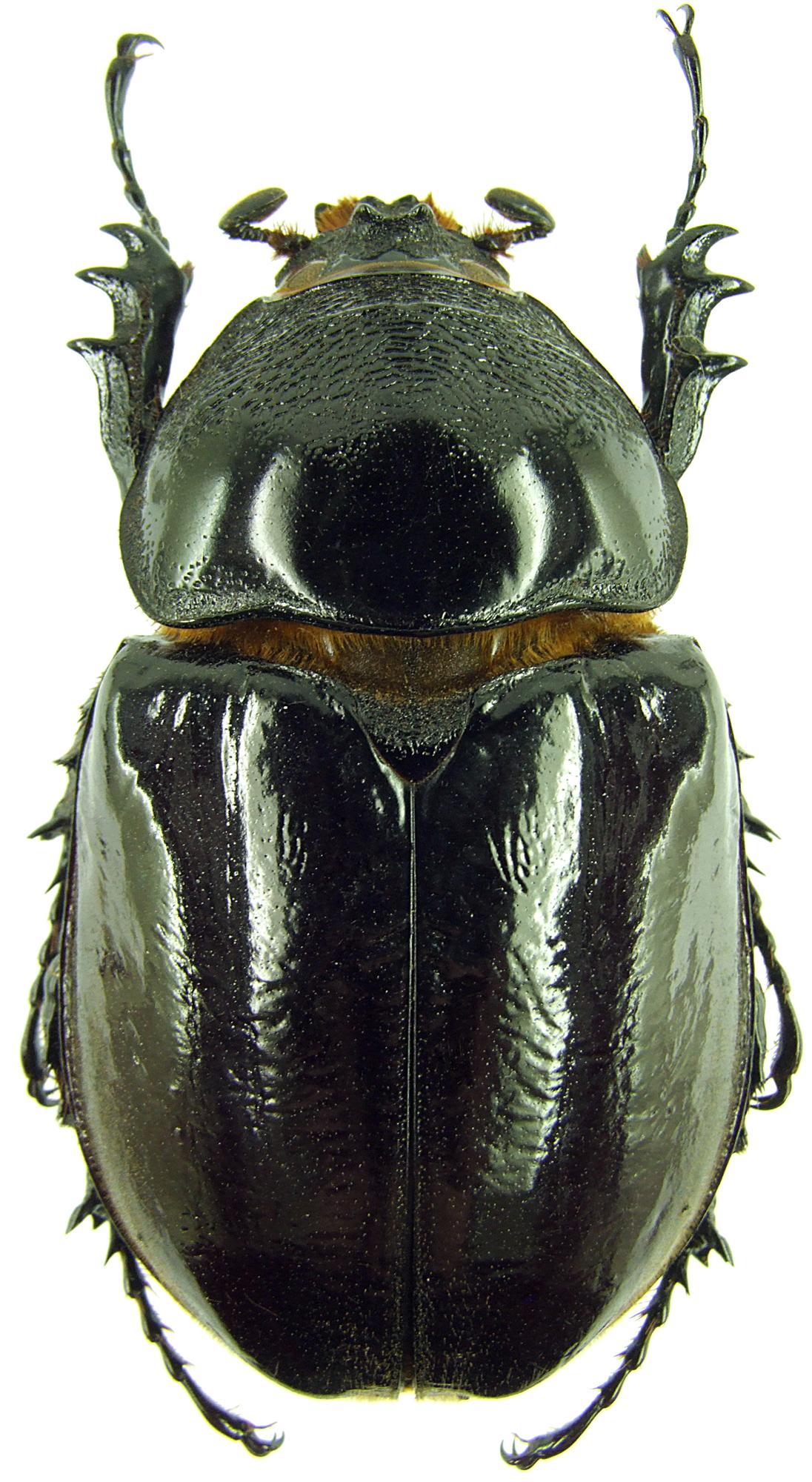 Augosoma centaurus 31213 .jpg
