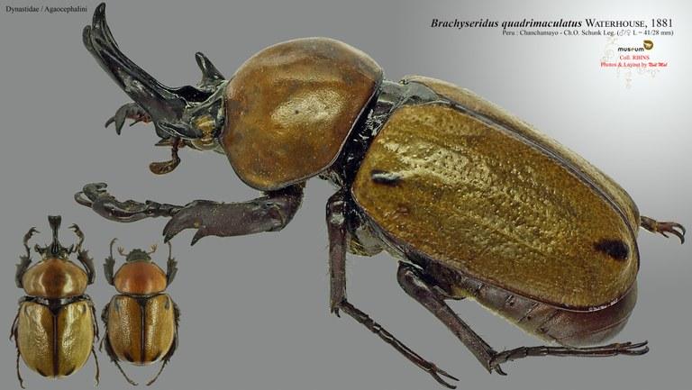 Brachysiderus (Brachysiderus) quadrimaculatus quadrimaculatus.jpg