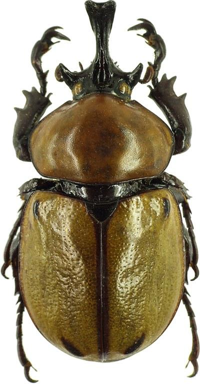 Brachysiderus (Brachysiderus) quadrimaculatus quadrimaculatus 30156cz60.jpg