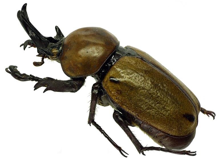 Brachysiderus (Brachysiderus) quadrimaculatus quadrimaculatus 30161cz66.jpg