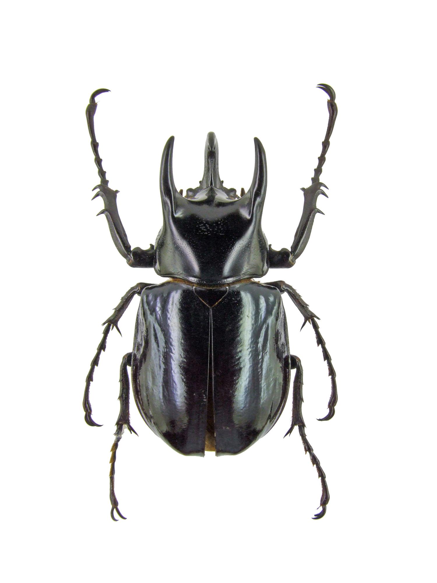 Chalcosoma caucasus 1442.jpg