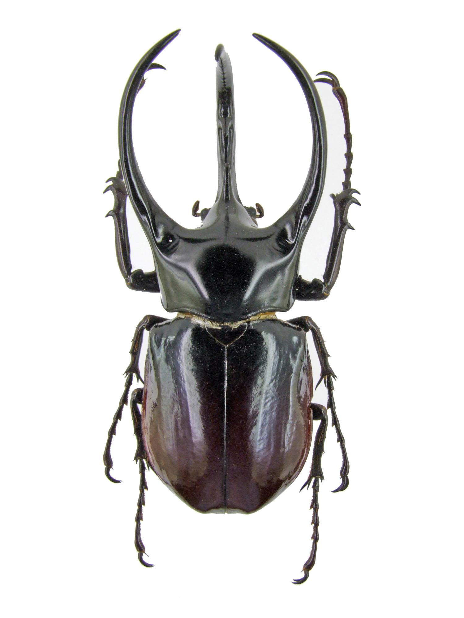Chalcosoma caucasus 1440.jpg