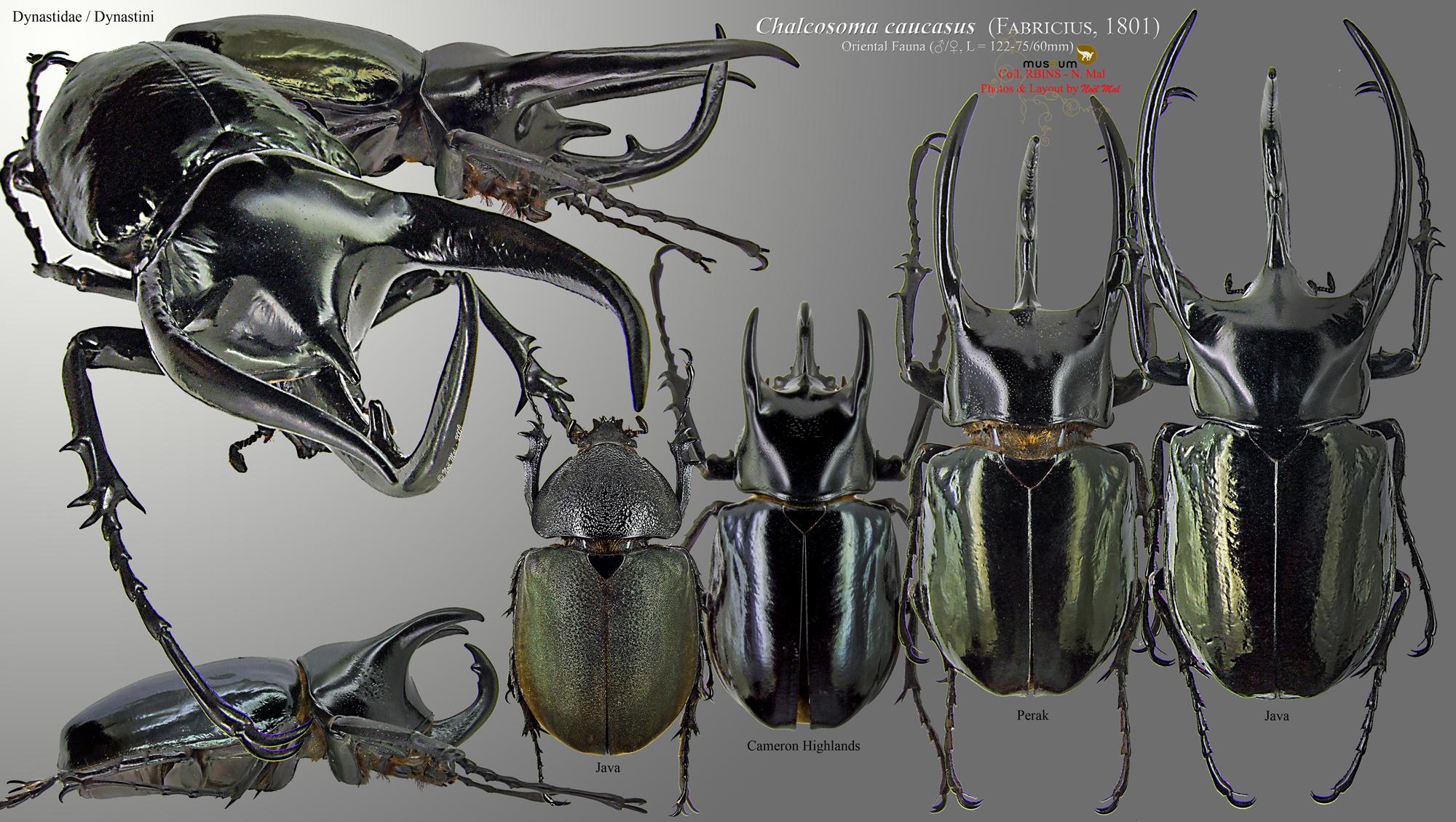 Chalcosoma caucasus.jpg