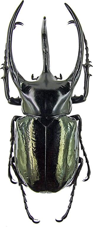 Chalcosoma caucasus 1434.jpg