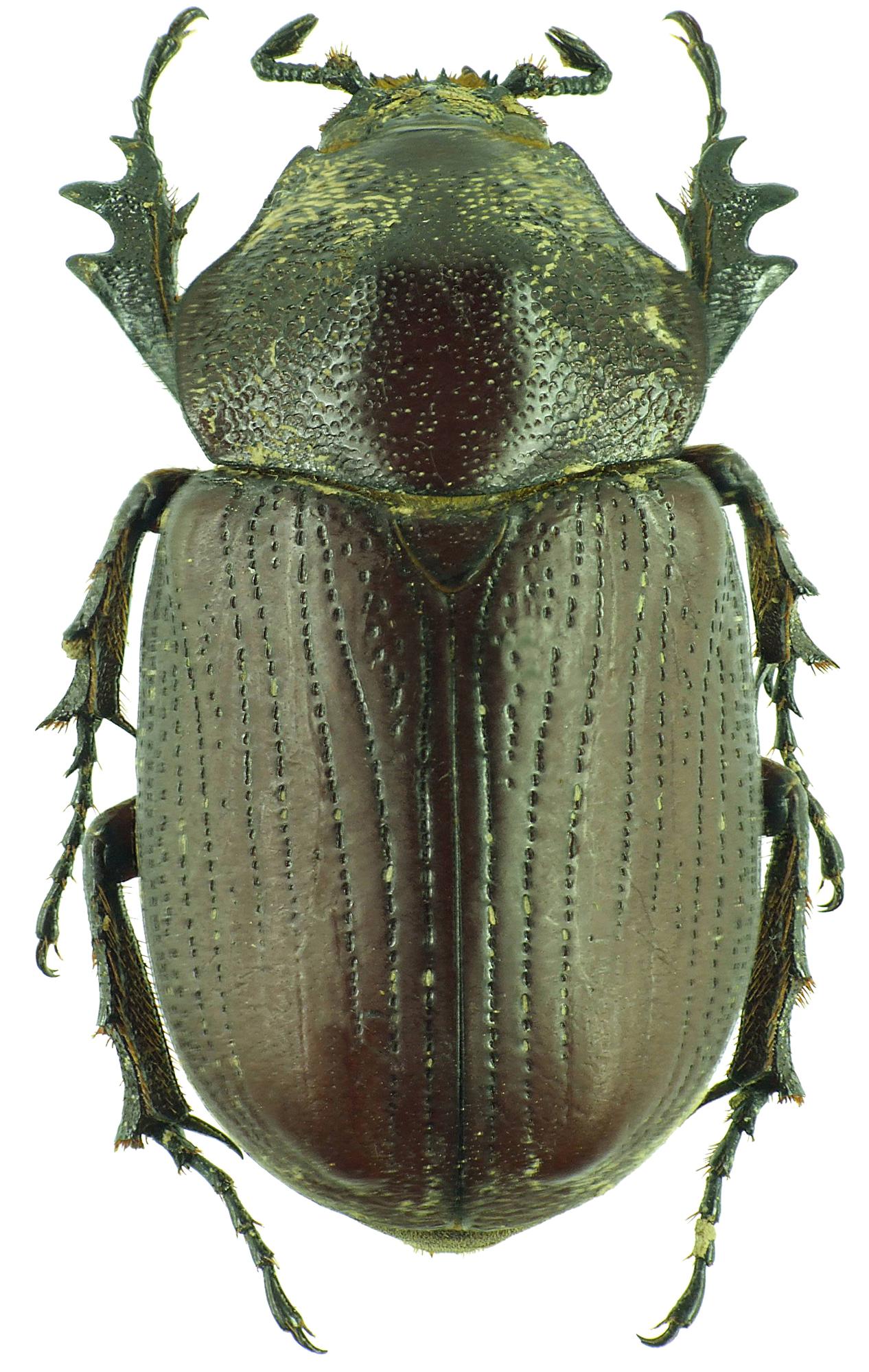Coelosis (Eucoelosis) biloba 30952cz55.jpg