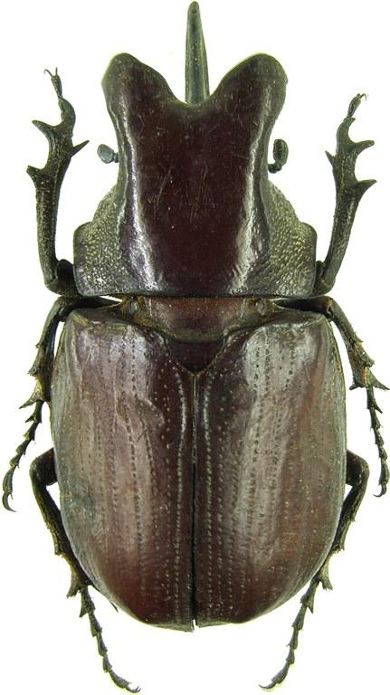 Coelosis (Eucoelosis) biloba 30936cz38.jpg
