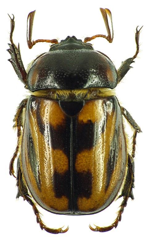 Cyclocephala bimaculata 31455cz60.jpg