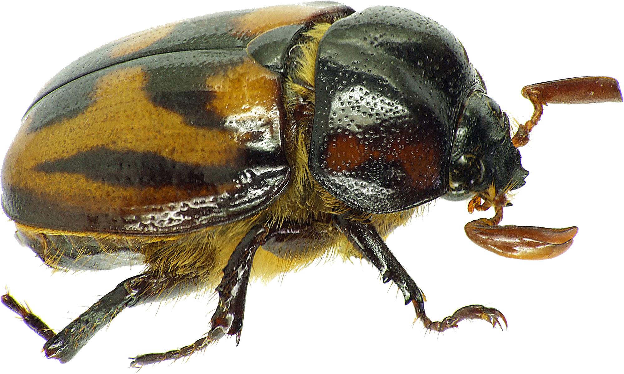 Cyclocephala bimaculata 31463cz69.jpg