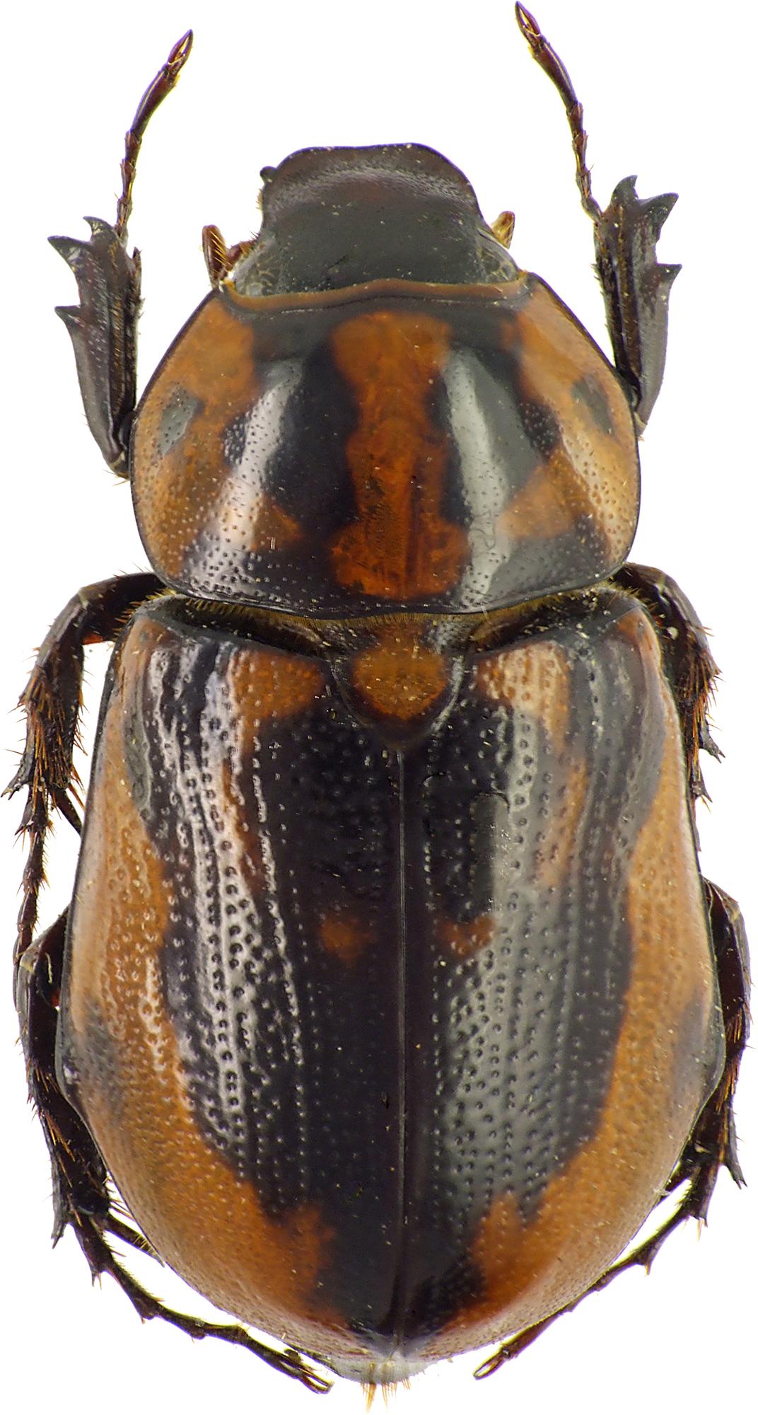 Cyclocephala deceptor 37257cz63.jpg
