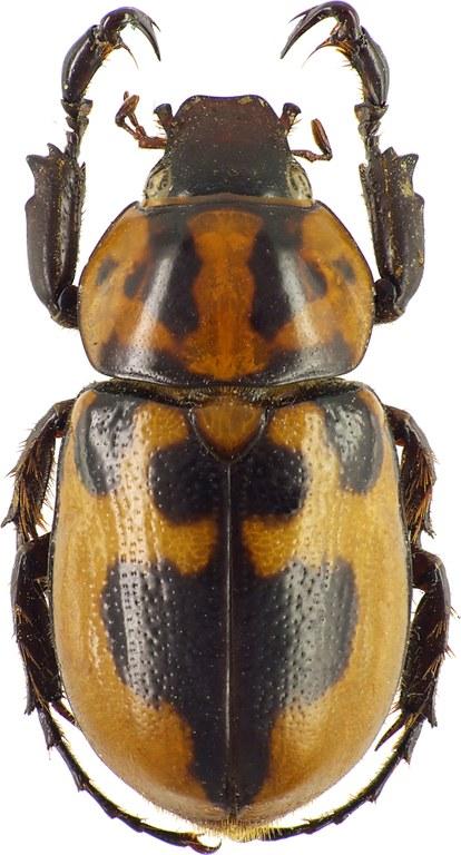 Cyclocephala deceptor 37244cz50.jpg