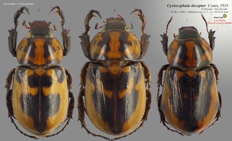 Cyclocephala deceptor.jpg