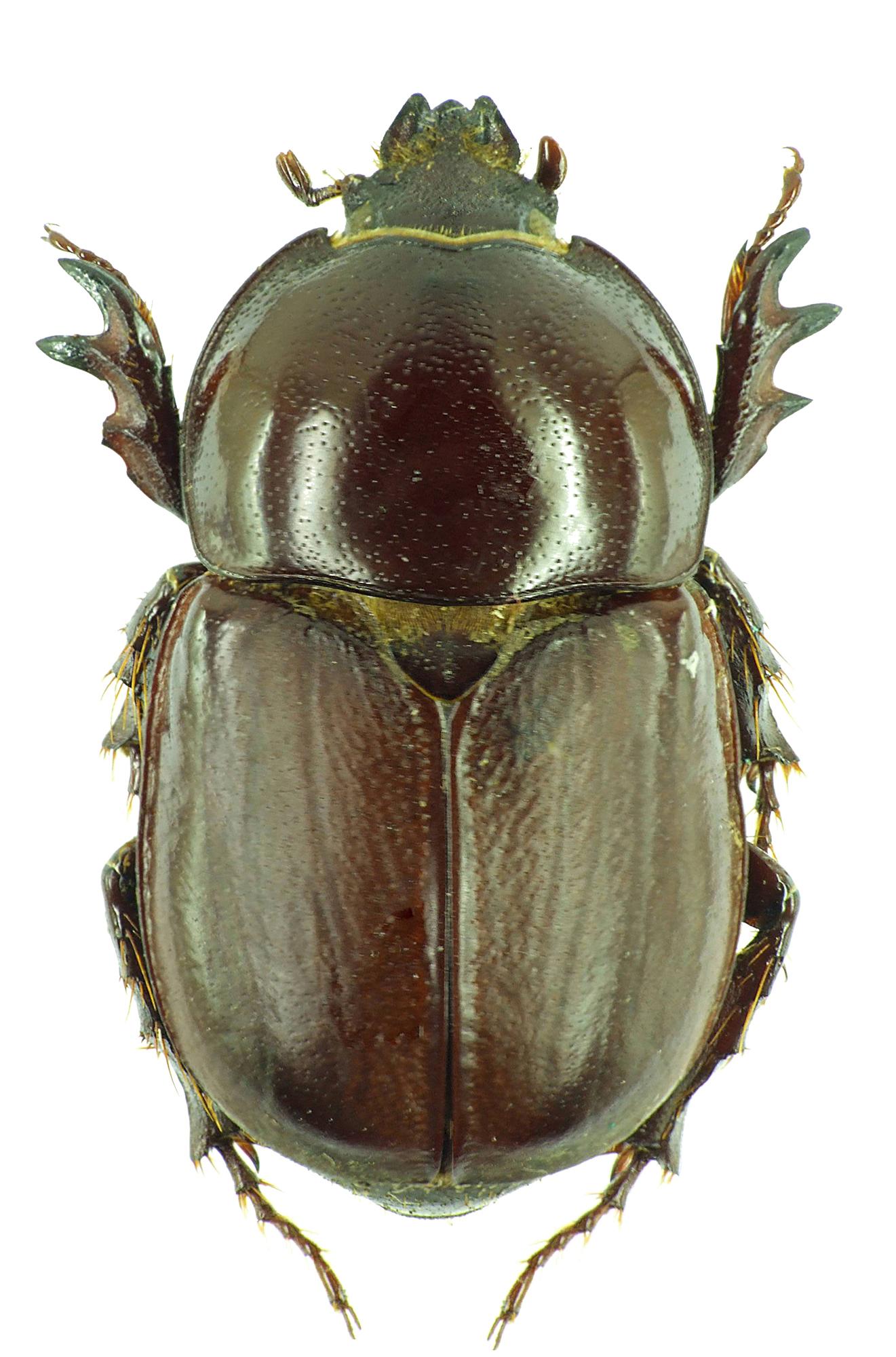 Diloboderus abderus 30349cz53.jpg