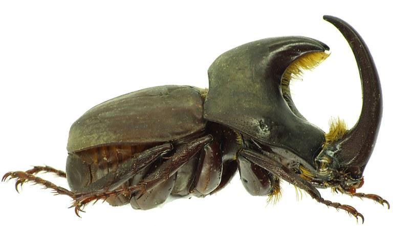 Diloboderus abderus 30336cz41.jpg
