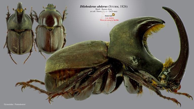 Diloboderus abderus.jpg