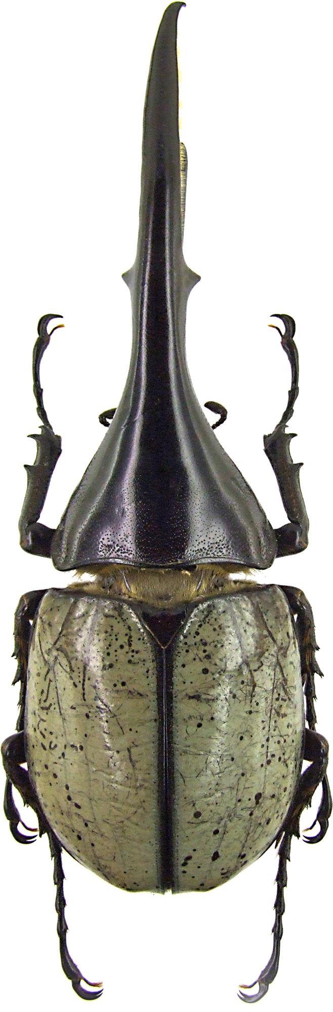 Dynastes hercules 1546.jpg