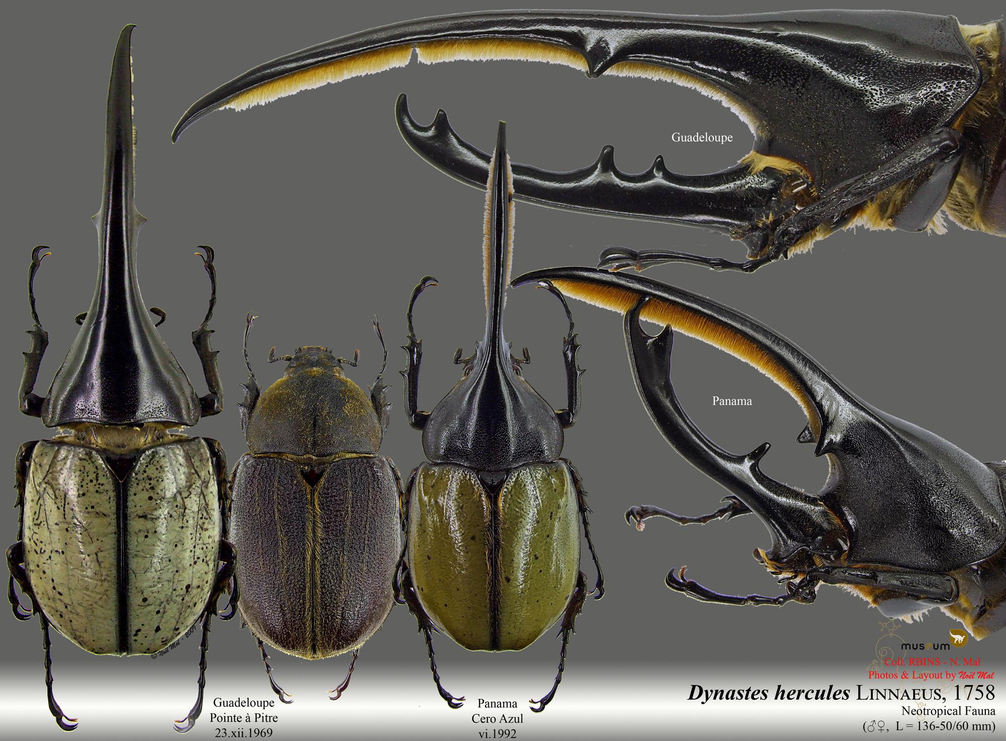 Dynastes hercules.jpg