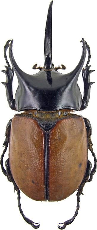 Eupatorus becarii 1656.jpg