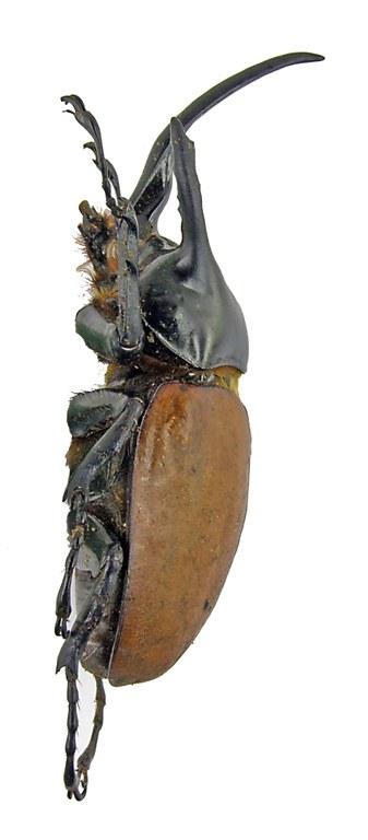 Eupatorus becarii 1657.jpg