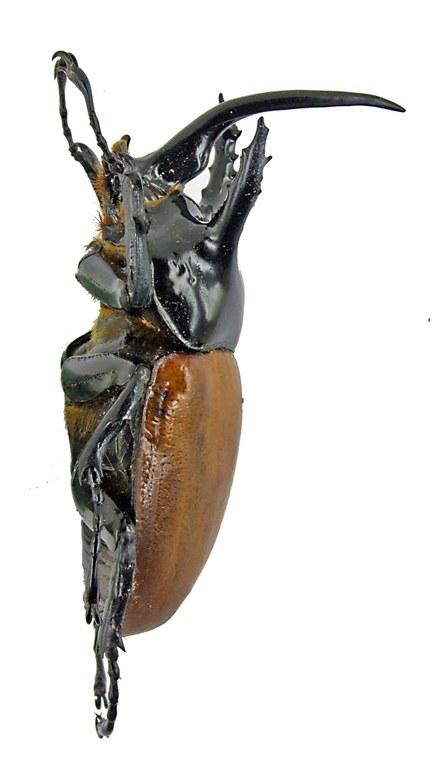 Eupatorus becarii 1658.jpg