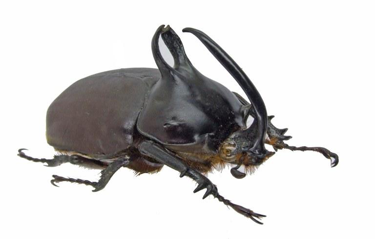 Eupatorus birmanicus 1672.jpg