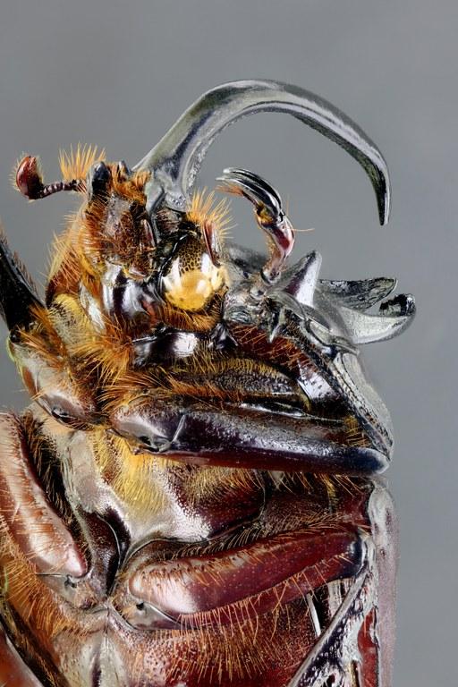 Eupatorus birmanicus 67233zs67.jpg