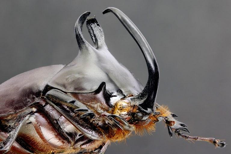 Eupatorus birmanicus 67300zs51.jpg