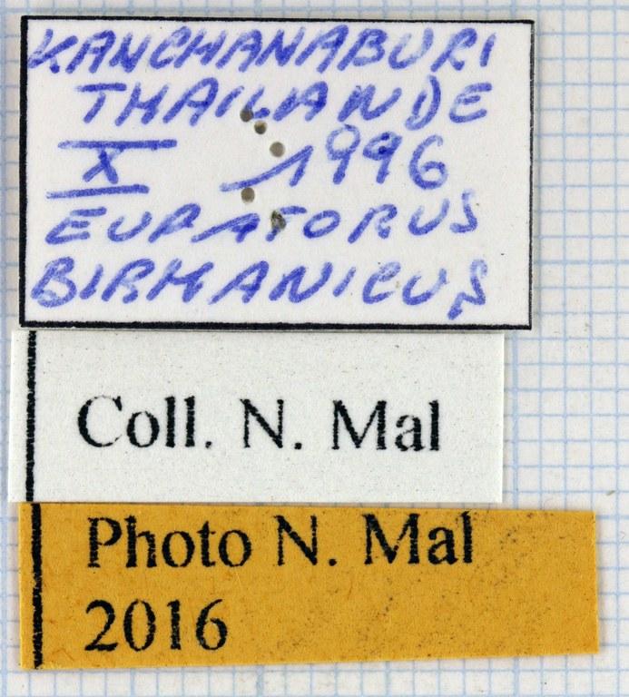 Eupatorus birmanicus 67352.jpg