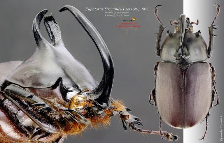 Eupatorus birmanicus Pl2 2.jpg