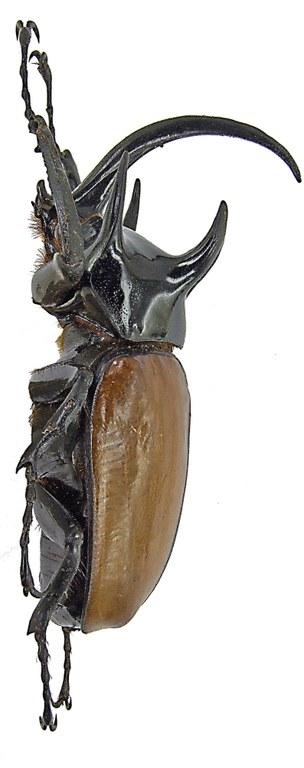 Eupatorus gracilicornis gracilicornis 1707.jpg