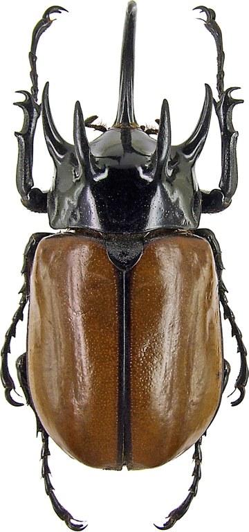 Eupatorus gracilicornis gracilicornis 230003.jpg