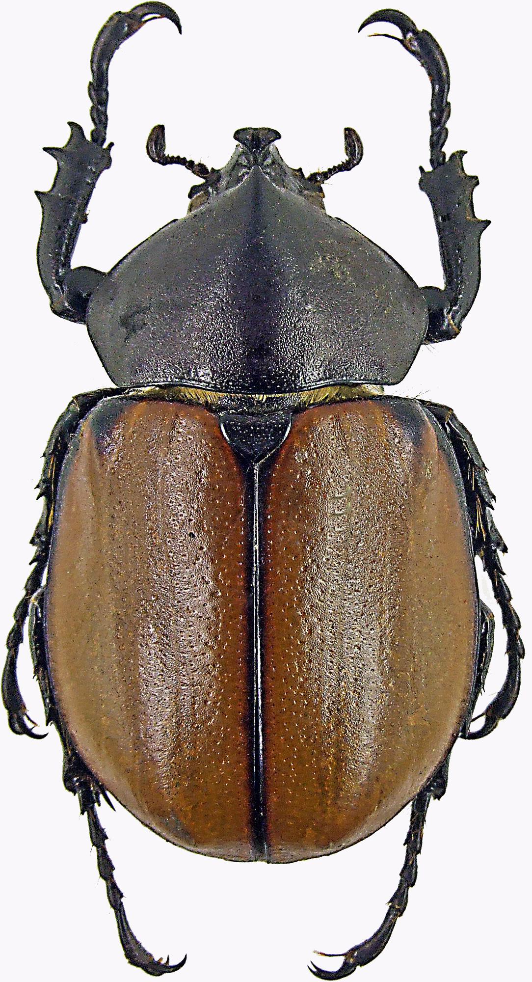 Mitracephala humboldti 1635 .jpg