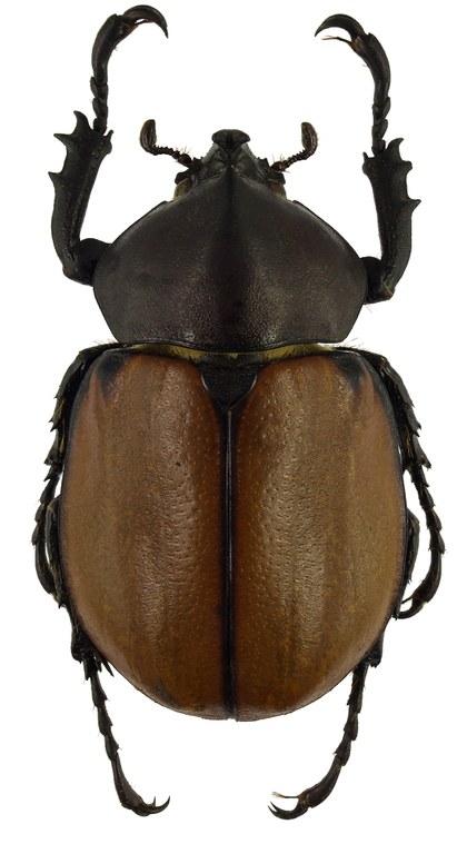 Mitracephala humboldti 81357cz63 .jpg