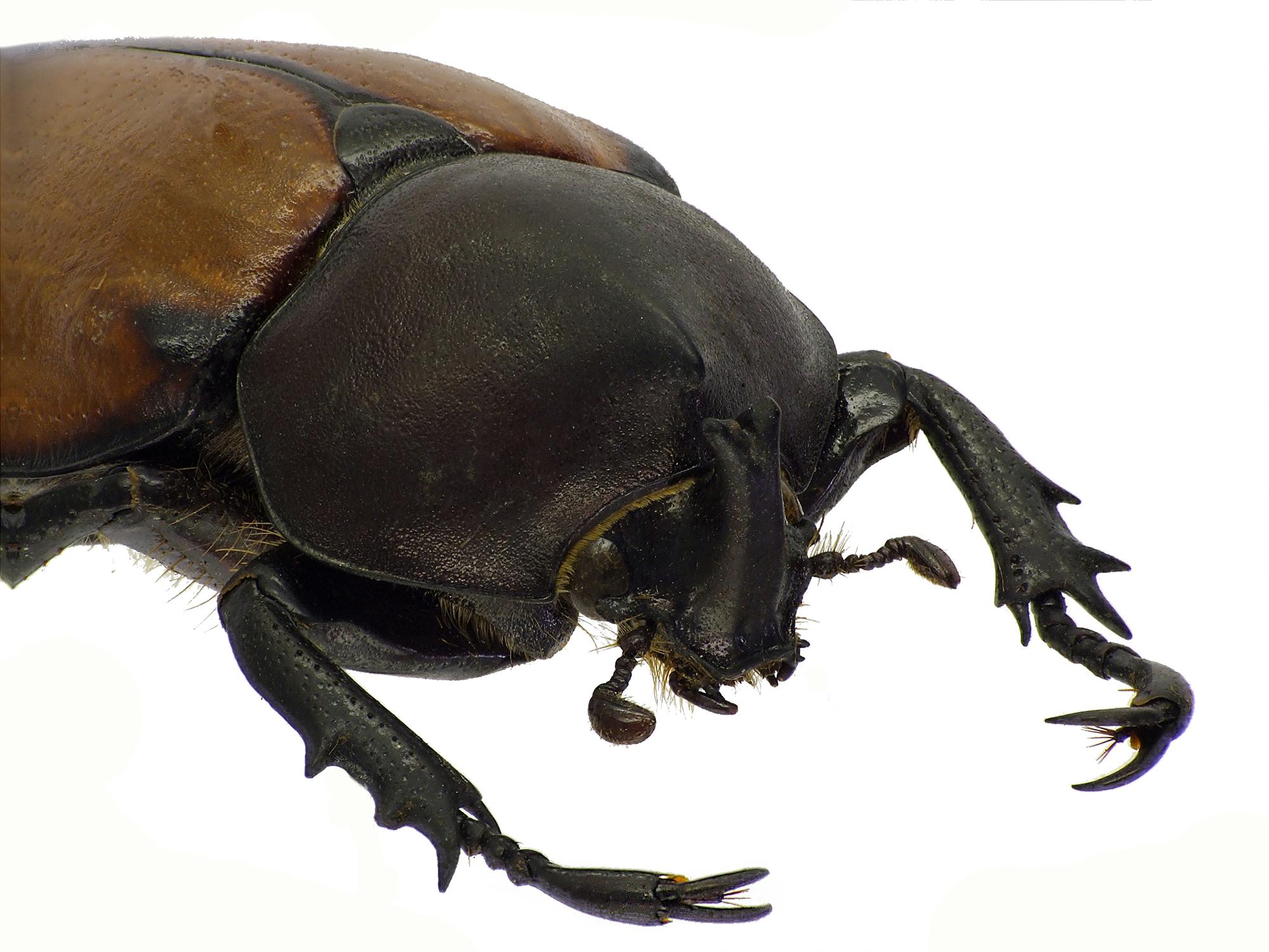 Mitracephala humboldti 81364cz82 .jpg