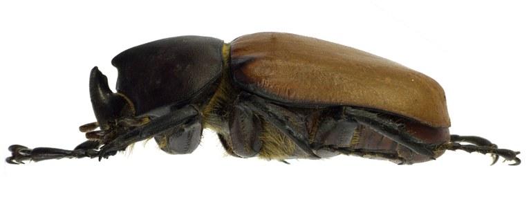 Mitracephala humboldti 81383cz90 .jpg