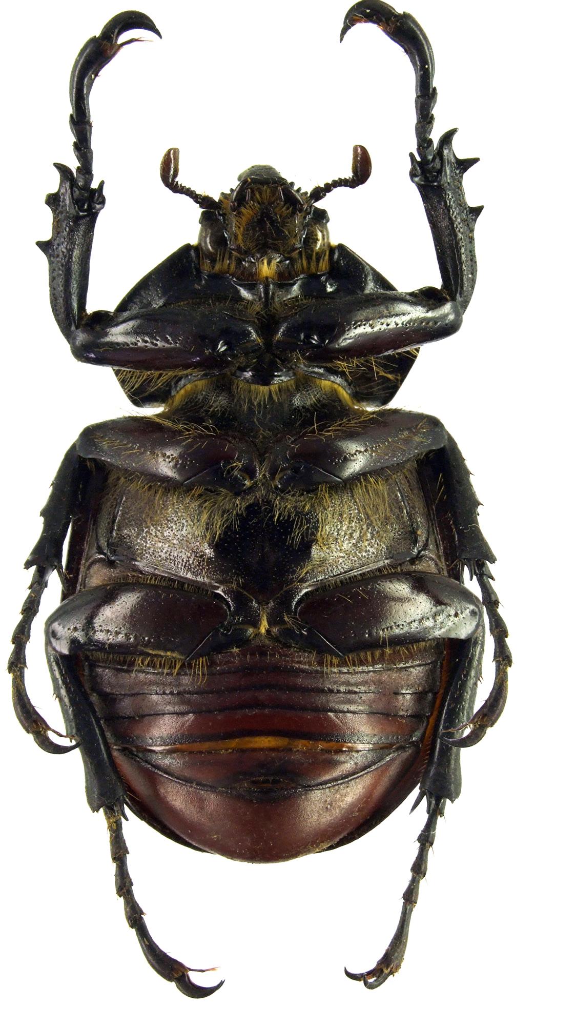 Mitracephala humboldti 81391cz95 .jpg