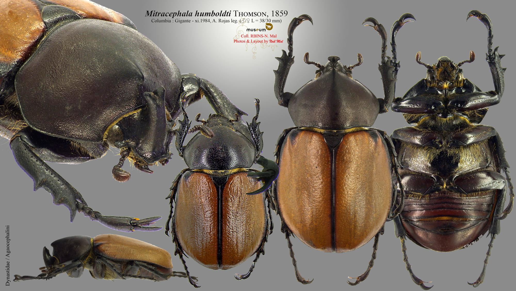 Mitracephala humboldti .jpg