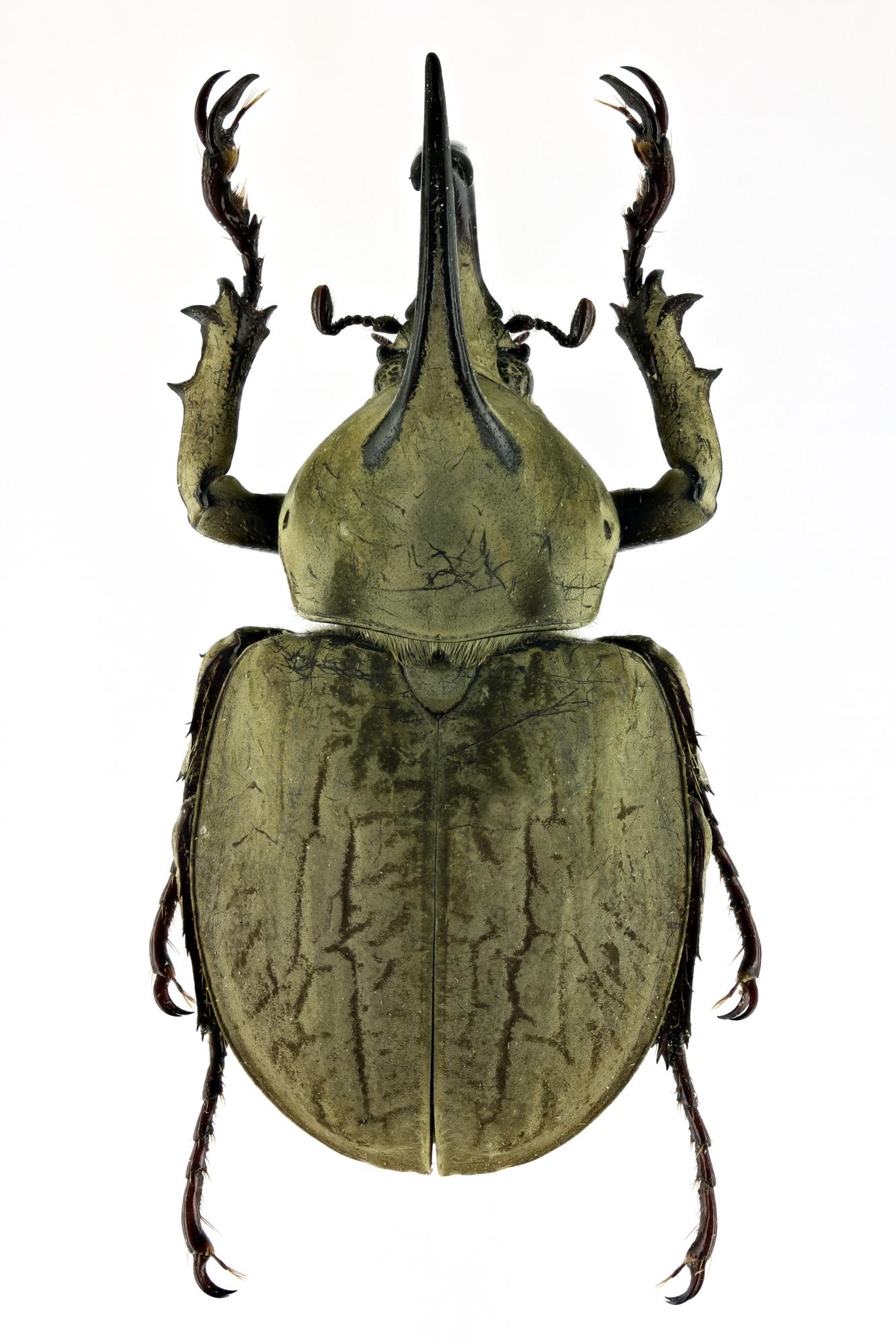 Spodistes batesi 66794zs07 .jpg
