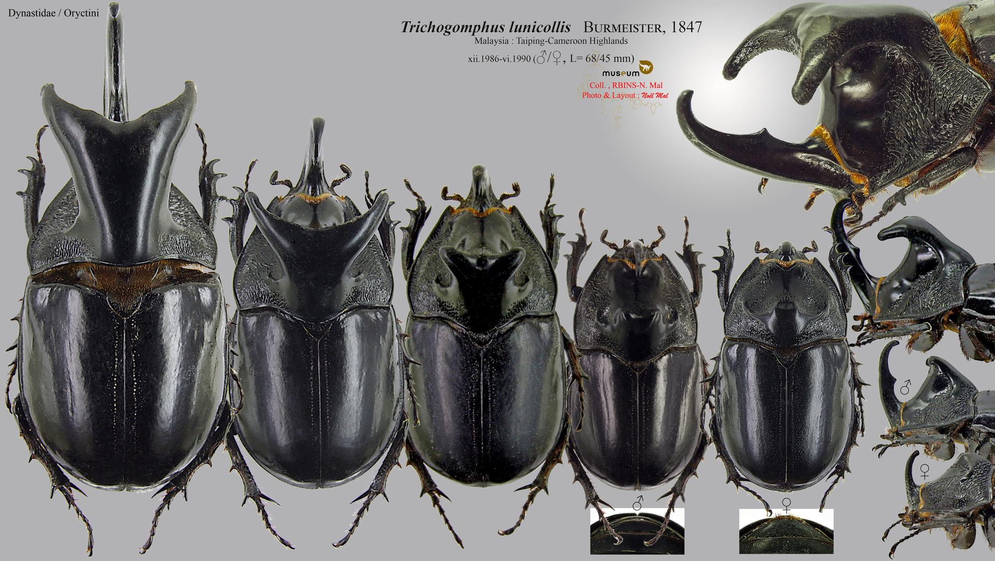 Trichogomphus lunicollis.jpg