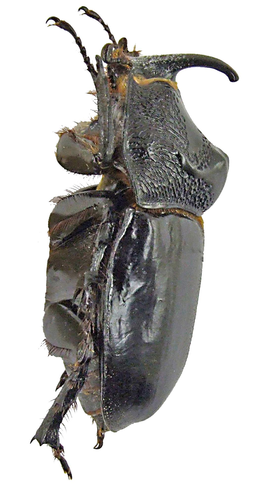 Trichogomphus lunicollis f 1617.jpg