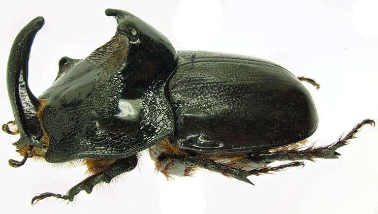 Trichogomphus martabani 31257cz62.jpg