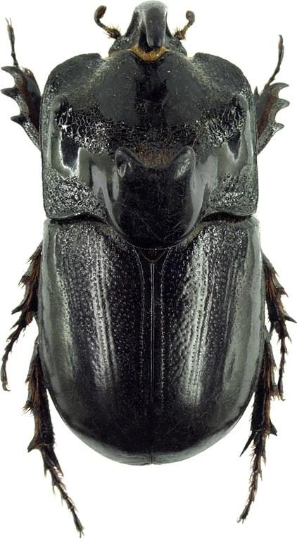 Trichogomphus martabani 31263cz67.jpg