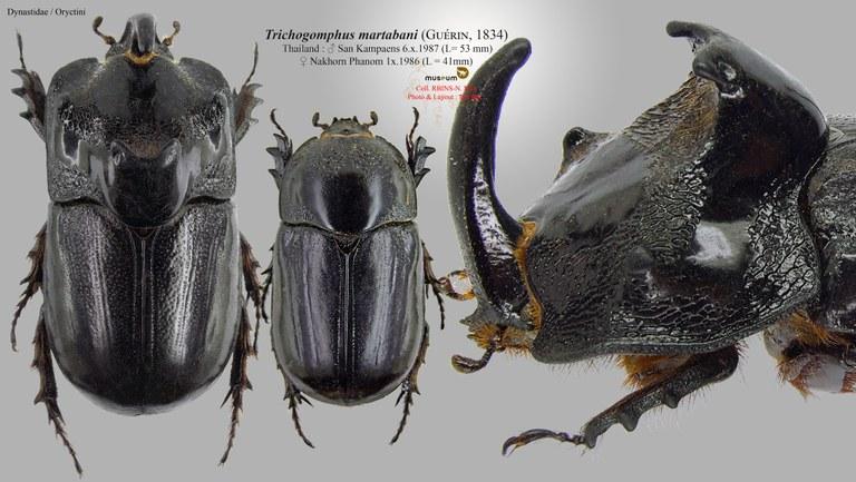 Trichogomphus martabani.jpg