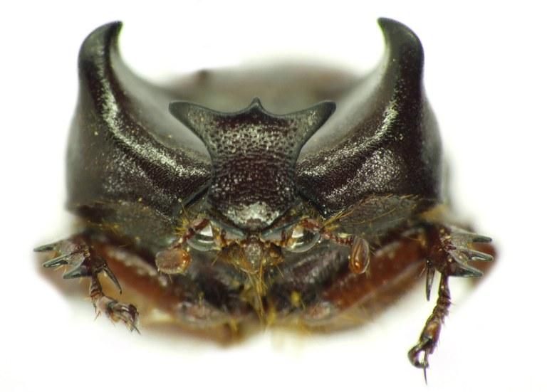 Phyllognathus orion 30419cz21.jpg