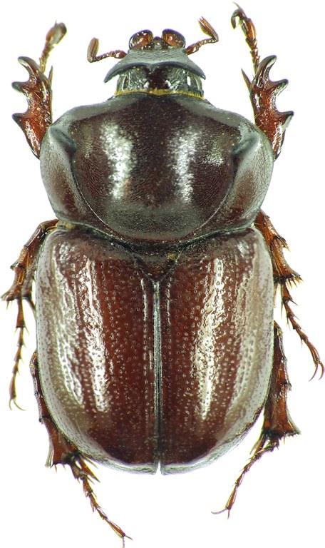 Phyllognathus orion 30887cz95.jpg