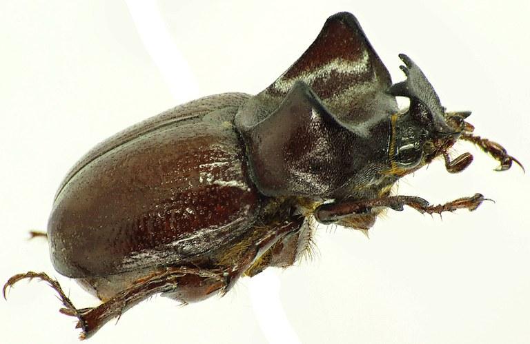 Phyllognathus orion 30896cz.jpg