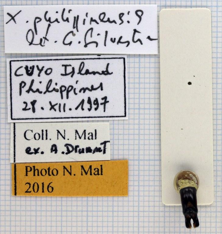 Xylotrupes gideon philippinensis 67034 .jpg