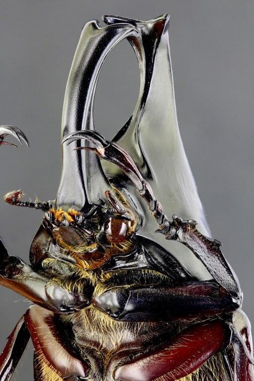 Xylotrupes gideon philippinensis 67064zs87.jpg